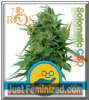 Royal Queen Auto Solomatic CBD 5 Female Seeds